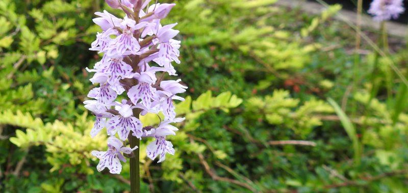 Orchids Growing in Writhlington School's Car Park
